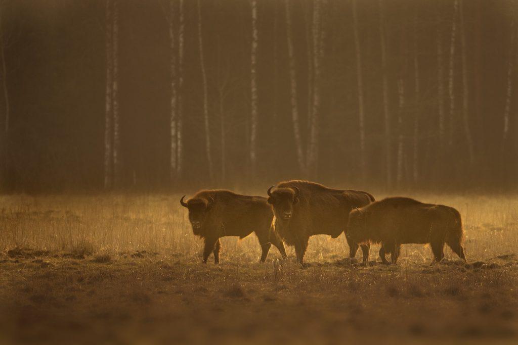 romanian bison